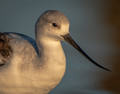 Portrait of an American Avocet