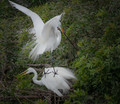 Two Great White Egrets gone wild!