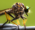 the robberfly - a fascinating and wonderful creature