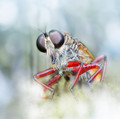 robberfly with bokeh