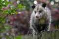opossum on the fence
