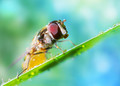 hoverfly with dewdrops