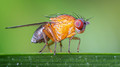 Portrait of a Fruit Fly - 3mm long (1/8th inch) including the wings