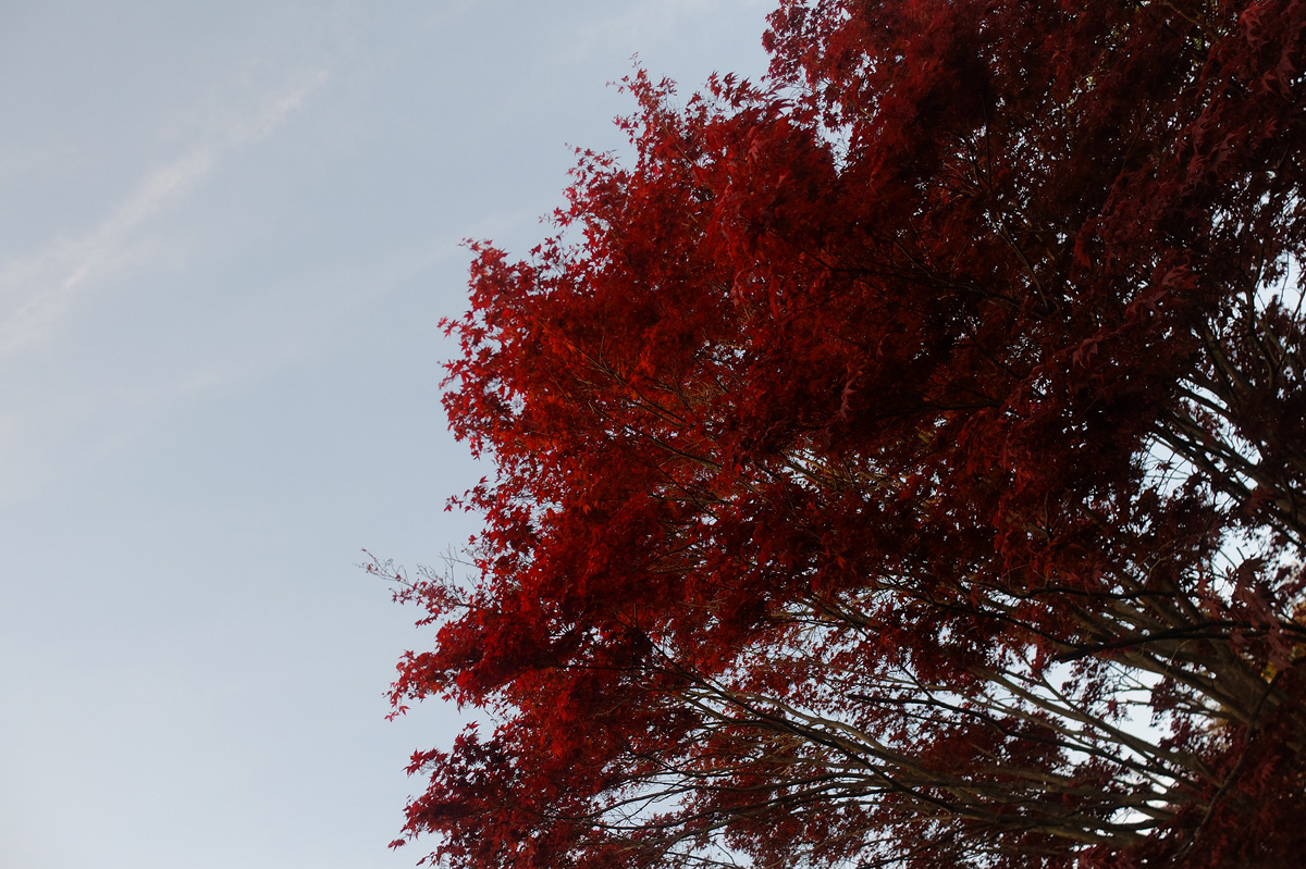 a red maple