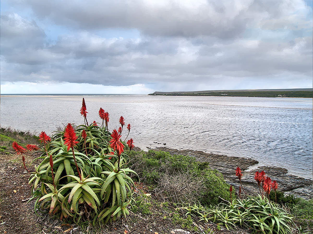 Aloes with a view