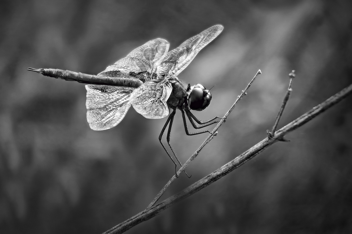 Black Saddlebags Dragonfly