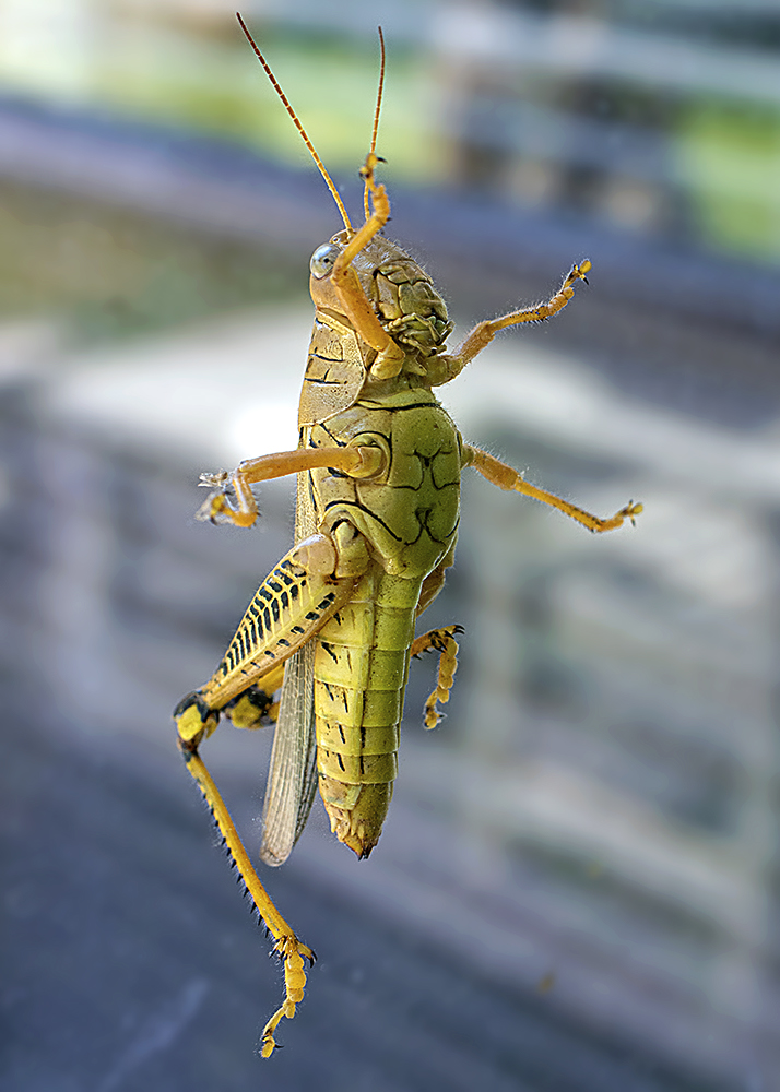 Why is there a grasshopper on my window?
