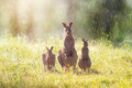 sunshower with kangaroos & cobwebs