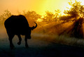 African sunset with buffalo