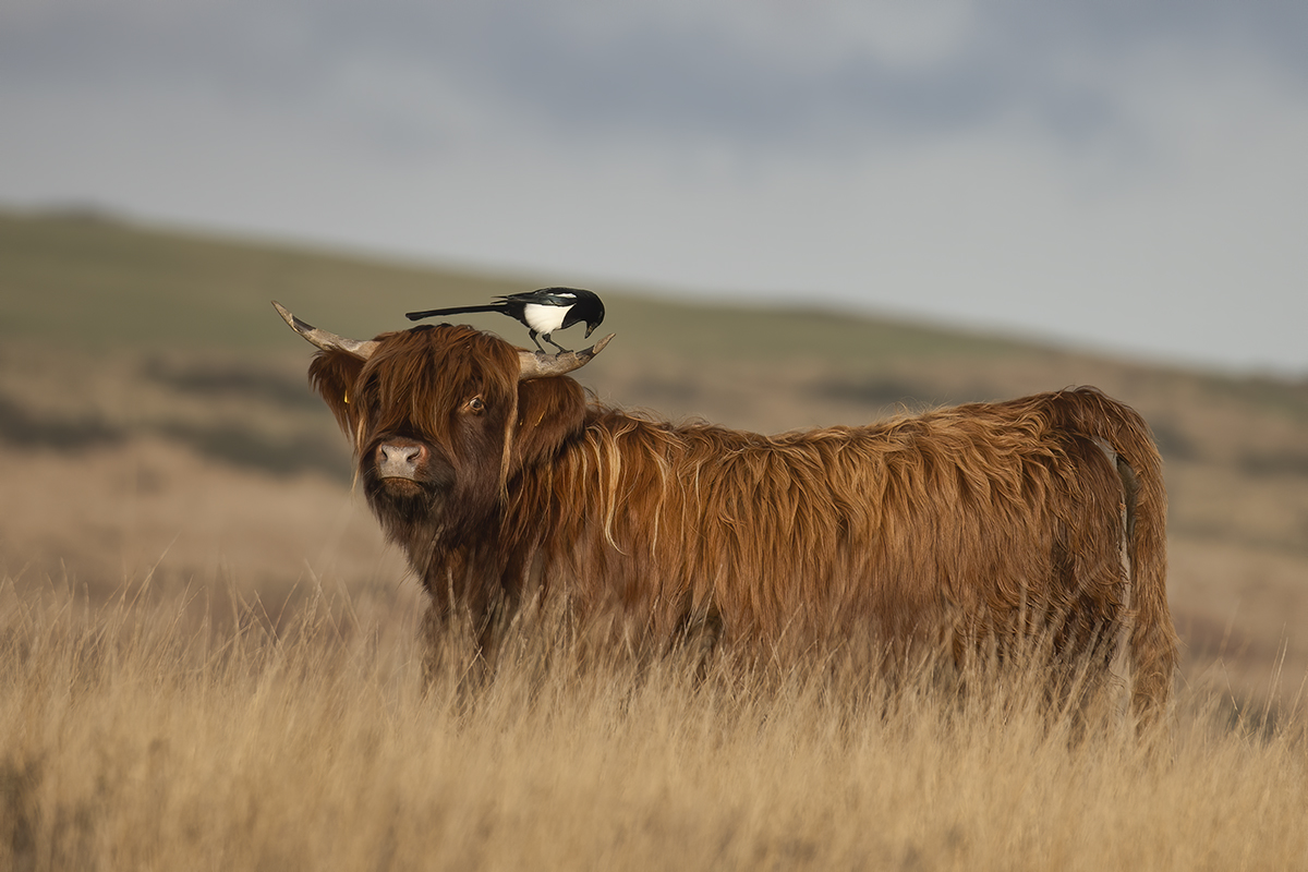The cow and the magpie
