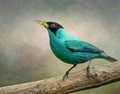 The Green Honeycreeper