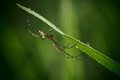Silver Orb Weaving Spider (Leucauge granulata) with raindrops