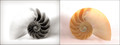 Nautilus Shell Diptych