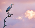 Morning Blue Heron