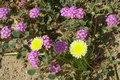 Desert flowers: dandelion and verbena