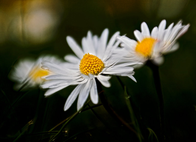 Daisies and Darkness