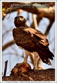 Martial Eagle with Crested Guinea Fowl Prey (PAW 32/52)