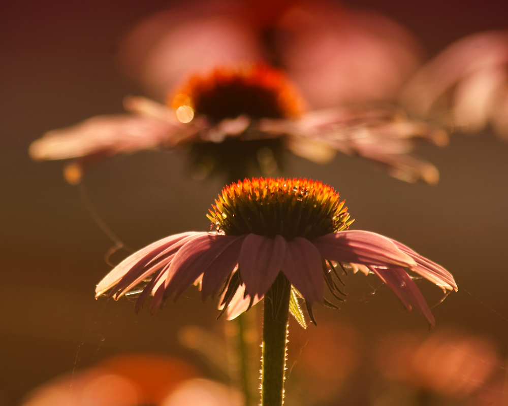Coneflower Echo