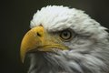 yet another eagle portrait
