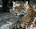 jaguar-closeup-small.jpg