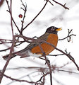 Robin-in-winter_999_26-01.jpg