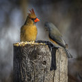 Northern Cardinal and a Tufted Titmouse