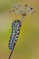 Caterpillar - Papilio Machaon