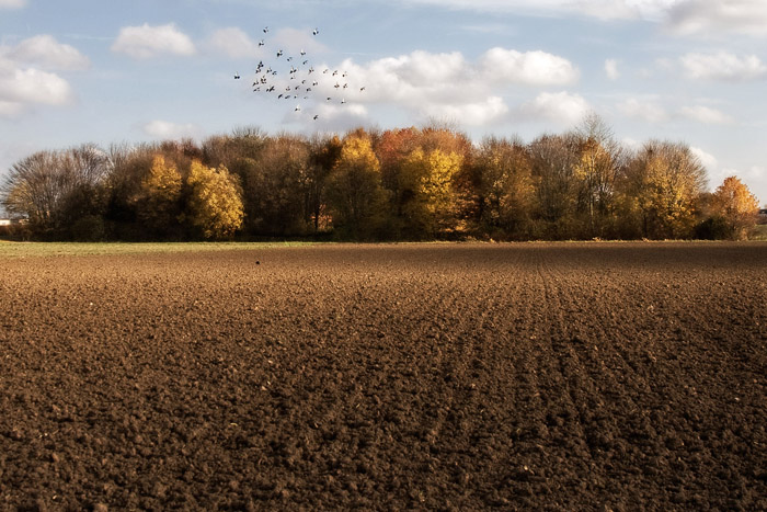 Field with pigeons
