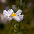 Matilija Poppy No. 2