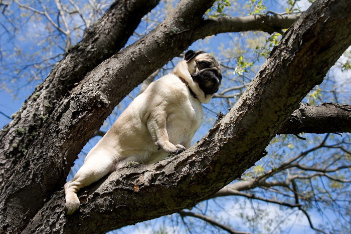 Call 911 My Pug Is Stuck Up In A Tree By Shutterpug Dpchallenge