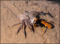 The Huntsman looses to the Orange Spider Wasp