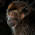 Portrait in the Mangroves - Macaque 1