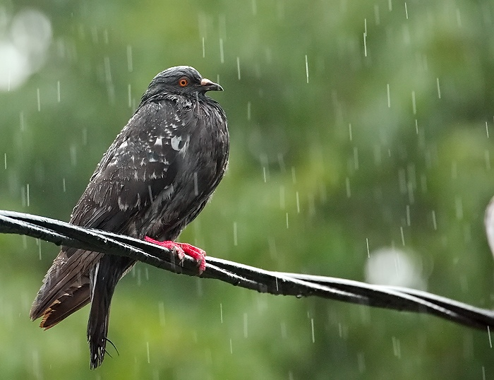Day 18 - Pigeon in the Rain