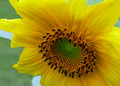 Sunflower_P1000091