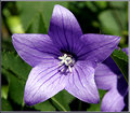Balloon-Flower.jpg