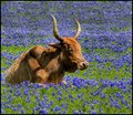 Bluebonnet Bed