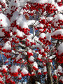 Snow-Capped Berries
