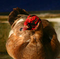 Muscovy Duck in Florida