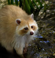 Blond_raccoon