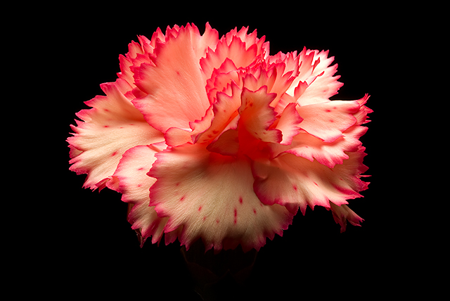 March Macro - Day 9 - Carnation