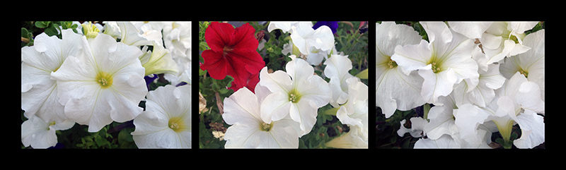 Petunias do very well in the heat of summer!
