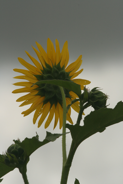 Rising-Sunflower-unedited.jpg