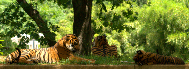 Adolescent Tiger Triplets Napping_0099