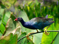 P&S Day 2 - Purple Gallinule