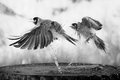 birds with attitude in black and white