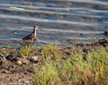 Short-Billed-Dowitcher