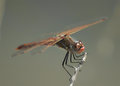 Red Dragonfly (Thats the scientific term)