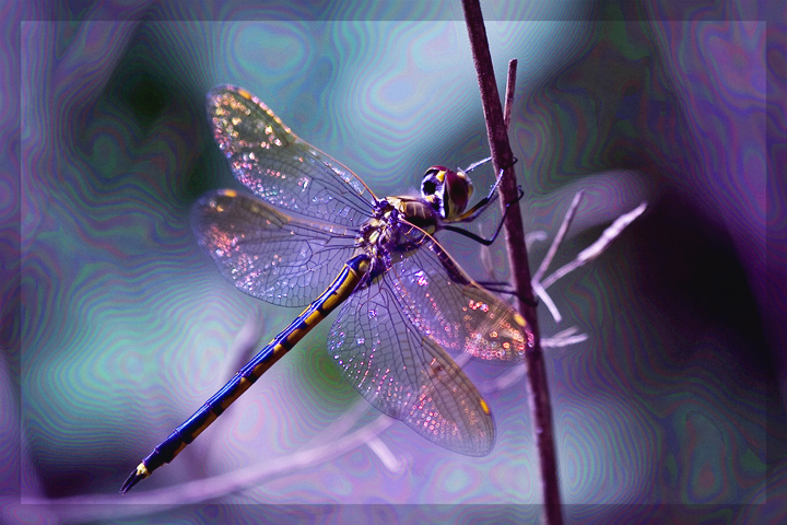 Psychedelic Dragonfly