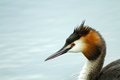 May 17 - Great crested grebe