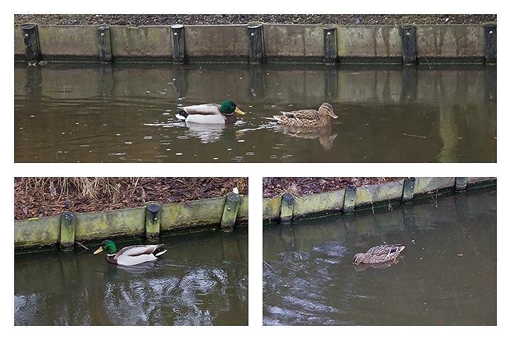 Feb 13 - Ducks